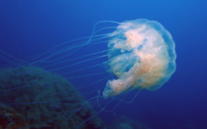 Malaysia warns: Brace for jellyfish attack in May